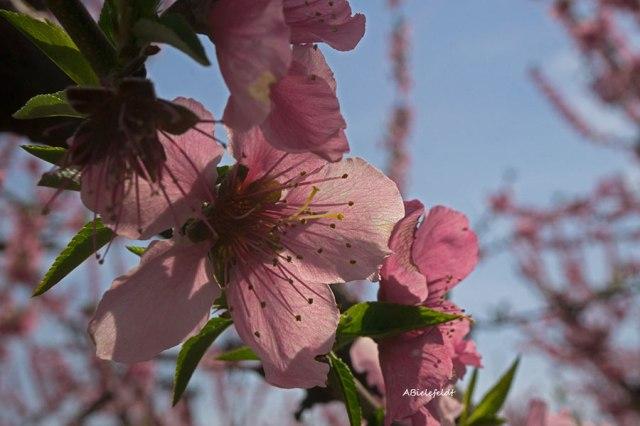 Blossom_Flower